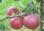 Õunapuu 'Antei'