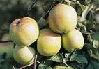 Õunapuu 'Antonovka'