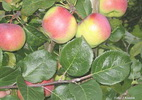 Õunapuu 'Auksis'