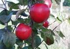 Õunapuu 'Bergius'
