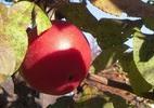 Õunapuu 'Conell Red'