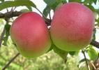 Õunapuu 'Forele'