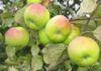 Õunapuu 'Imrus'