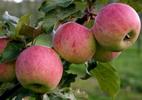 Õunapuu 'Kaari'