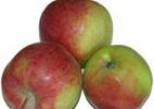 Õunapuu 'Kaimo'