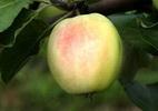 Õunapuu 'Kaja'