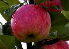 Õunapuu 'Karamba'