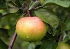 Õunapuu 'Karksi Renett'