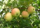 Õunapuu 'Kasper'