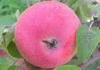 Õunapuu 'Kata3'