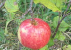 Õunapuu 'Koit'