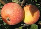 Õunapuu 'Konfetnoje'