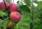 Õunapuu 'Krasnoje Rannjeje'