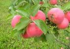 Õunapuu 'Krista'