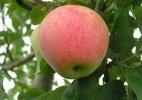 Яблоня 'Голубок Крюгера'