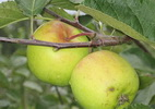 Apple 'Liivi Golden Reinette'