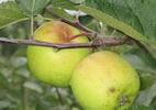Õunapuu 'Liivi Kuldrenett'