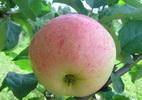 Õunapuu 'Lembitu'