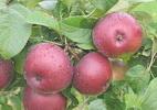 Õunapuu 'Lobo'