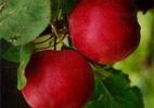 Õunapuu 'Maikki'
