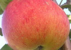 Õunapuu 'Make'