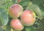 Яблоня 'Mарципан'