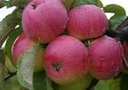 Õunapuu 'Meelis'