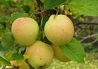 Õunapuu 'Okerö'