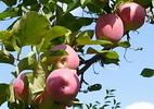 Õunapuu 'Orlovski polosatoje'