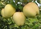 Õunapuu 'Pärnu Tuviõun'