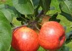 Õunapuu 'Pirja'