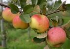 Õunapuu 'Põltsamaa taliõun'