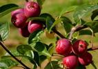 Õunapuu 'Ruti'