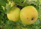 Õunapuu 'Sidrunkollane taliõun'