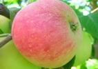 Õunapuu 'Sõstraroosa'