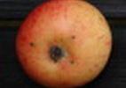 Яблоня 'Таллиннская грушовка'