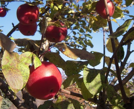 Malus 'Conell Red'