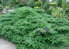 Korea nulg  'Green Carpet'