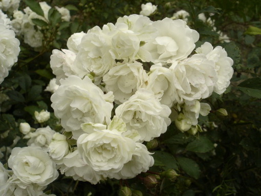 Rosa 'Alba Meidiland'
