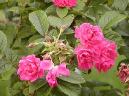 Rosa 'F.I.Grootendorst'
