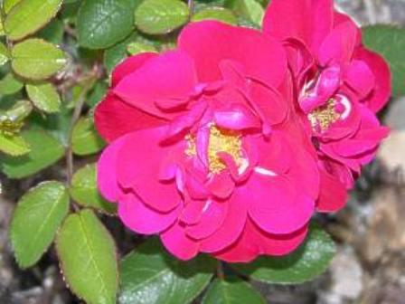 Rosa 'Hansaland'
