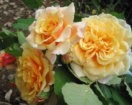 Rosa 'Caramella'