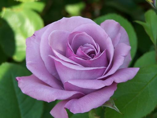 Rosa 'Blue Girl'