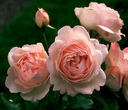 Rosa 'Claire Renaissance'