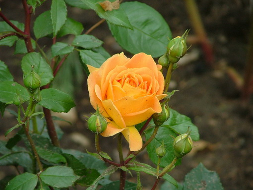 Rosa 'Goldelse'