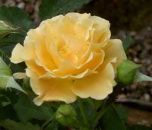 Rosa 'Goldener Olymp.'